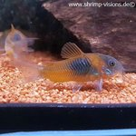 "10 St. Corydoras venezuelanus ""orange"""