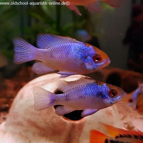 "Schmetterlingsbuntbarsch ""Electric Blue"", Mikrogeophagus ramirezi,  DNZ"